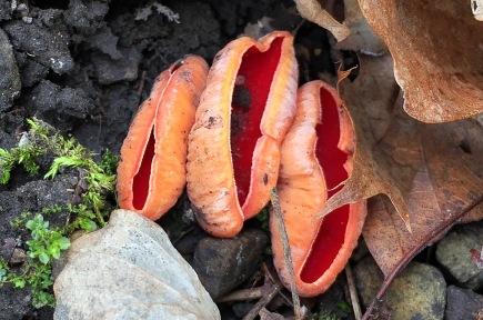 Scarlet Cups (Sarcoscypha austriaca)